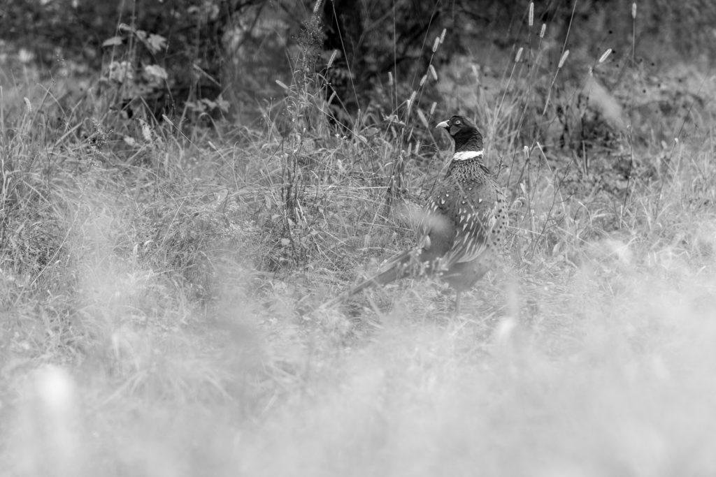 Faunes & Flores ONF protection de la nature Chamois, Cerfs, Chevreuils, faisans, Bouquetins des Alpes, National géographie aventure Parc national français le parc national de chartreuse charmant som Baptiste Gamby Photographie Wildlife animalière Photographie Noir & Blanc