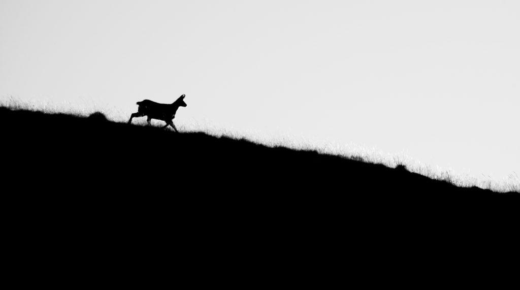 Faunes & Flores ONF protection de la nature Chamois, Cerfs, Chevreuils, faisans, Bouquetins des Alpes, National géographie aventure Parc national français le parc national de chartreuse charmant som Baptiste Gamby Photographie Wildlife animalière