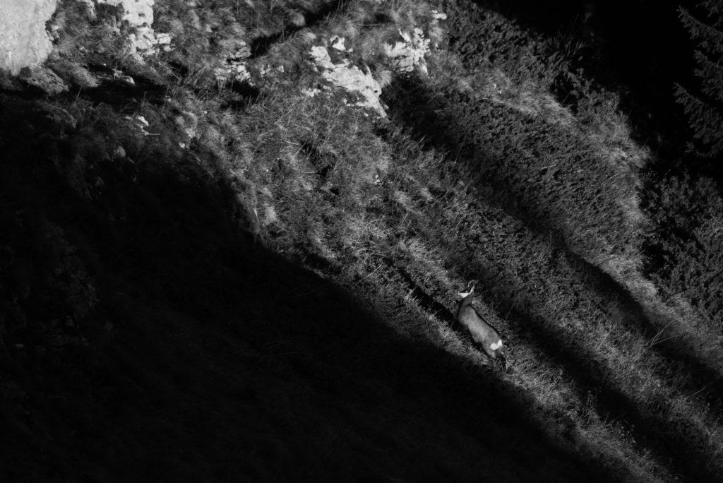 Faunes & Flores ONF protection de la nature Chamois, Cerfs, Chevreuils, faisans, Bouquetins des Alpes, National géographie aventure Parc national français le parc national de chartreuse charmant som Baptiste Gamby Photographie Wildlife animalière Photographie Noir & Blanc Château de Vizille Isère France