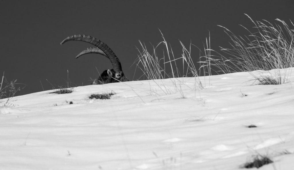 Parc national de la Vanoise en Maurienne Faunes & Flores ONF protection de la nature Chamois, Cerfs, Chevreuils, faisans, Bouquetins des Alpes, National géographie aventure Parc national français le parc national de chartreuse charmant som Baptiste Gamby Photographie Wildlife animalière Photographie Noir & Blanc Château de Vizille Isère France