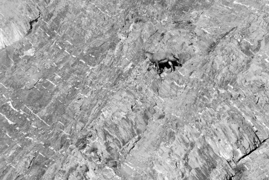 Faunes & Flores ONF protection de la nature Chamois, Cerfs, Chevreuils, faisans, Bouquetins des Alpes, National géographie aventure Parc national français le parc national de chartreuse charmant som Baptiste Gamby Photographie Wildlife animalière Photographie Noir & Blanc Château de Vizille Isère France Parc national de la Vanoise en Maurienne